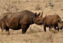 kenya relocates 14 black rhinos to a secure habitat Tsavo
