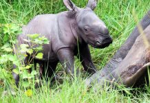 Male Rhino born in Uganda - Ziwa Rhino sanctuary