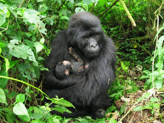 Two baby mountain gorillas born in Virunga National Park
