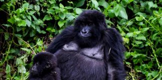 Rwanda discounts the price of gorilla permits by 30 per cent from $1500 to $1,050