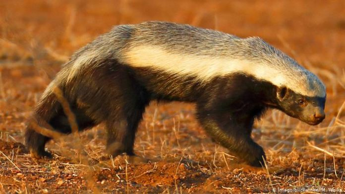 The honey badger, also known as the ratel, is a mammal widely distributed in Africa