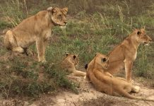 Poacher killed by elephant then eaten by lions