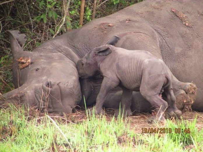New Rhino is born at Ziwa Rhino Sanctuary, Uganda