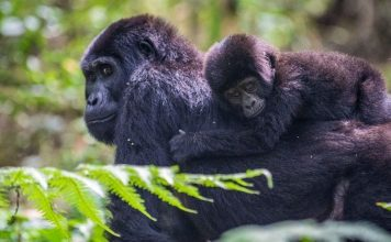 Where to see gorillas in Rwanda