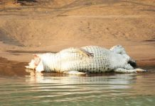 Namibia probes poisoning, mutilation of crocodiles