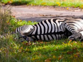 Zebra shot dead after causing accident on German autobahn