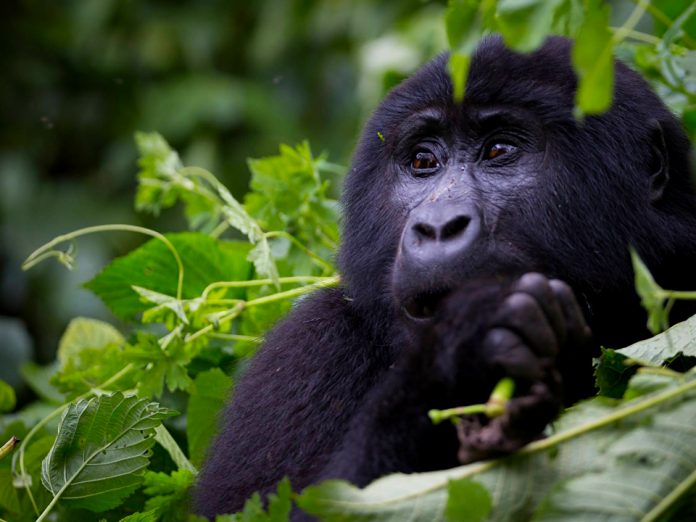 Uganda's Bwindi Impenetrable national park gifted with 459 mountain gorillas as per December 2018 Census result report released today