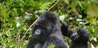 Lightning killed four rare mountain gorillas in Uganda